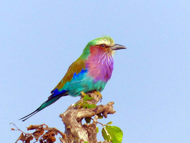 liac breasted roller