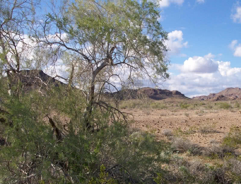 desert ironwood plant