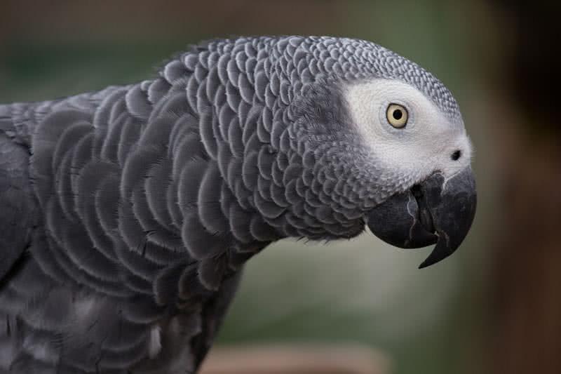 smartest talking birds