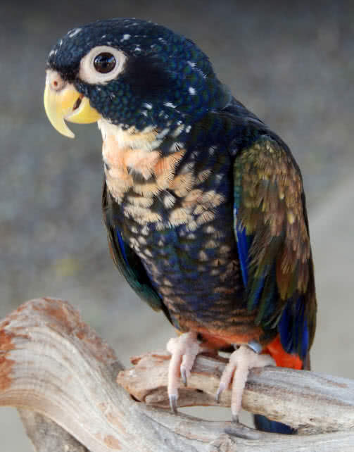 Bronze winged parrot