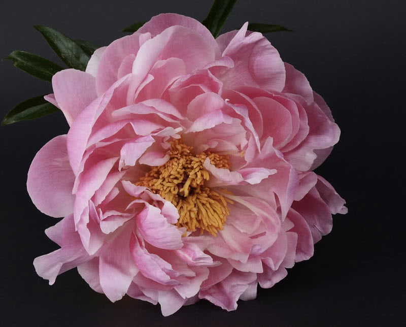 The Peony Is A Bright Strongly Scented Flowering Plant That Found In North America Asia And Europe Peony Flowers Are Widely Used In Wedding Bouquets And