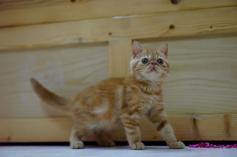 exotic shorthair breed