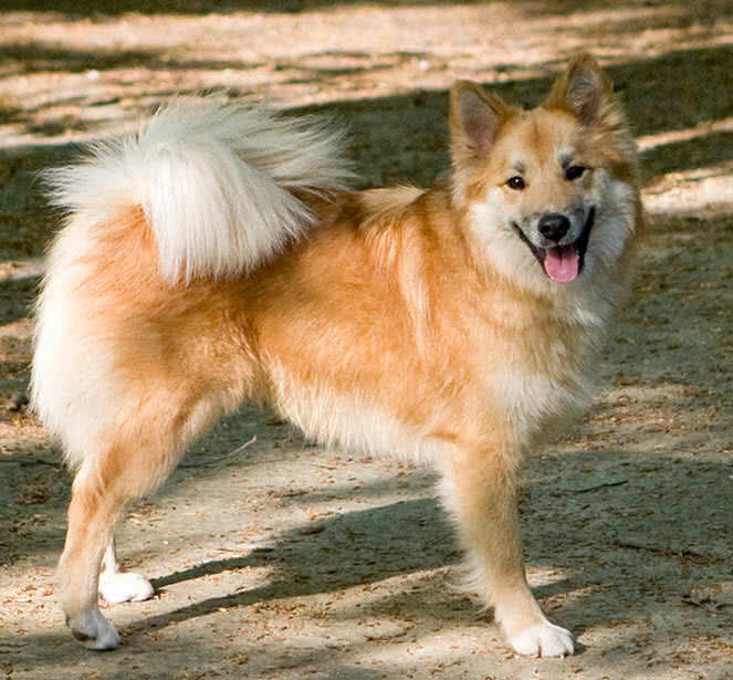 icelandic sheep dog