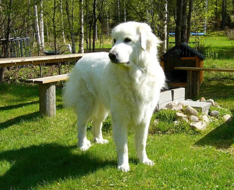 Top Largest Dog Breeds In The World The Mysterious World