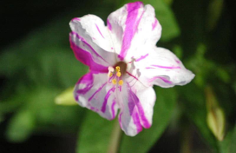 four O clock flower