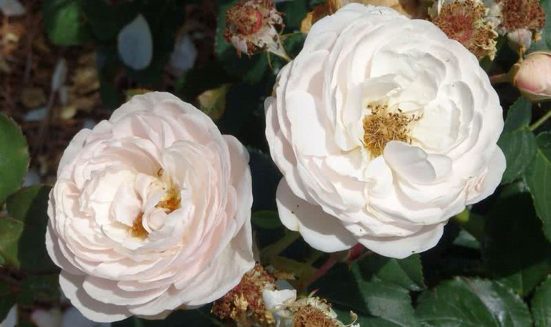 10 intensely fragrant roses to plant in your garden the mysterious good fragrant heritage rose mightylinksfo Images