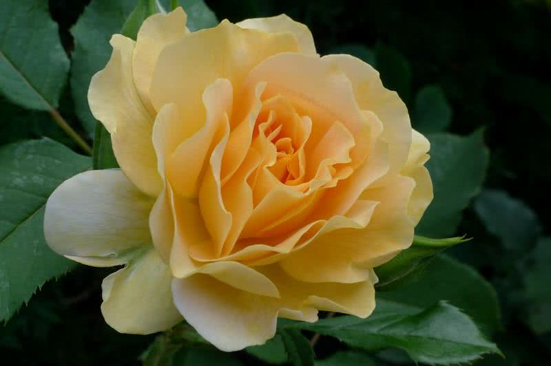 fragrant honey perfume rose