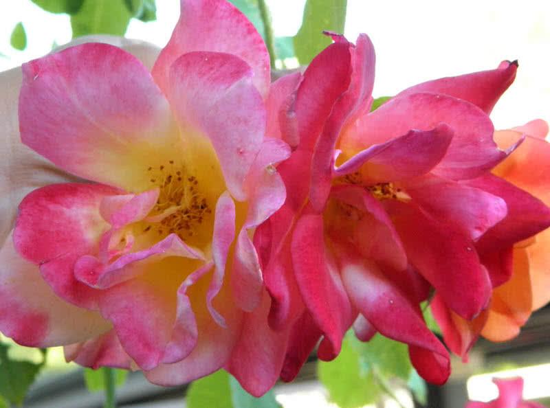 beautiful josephs coat rose