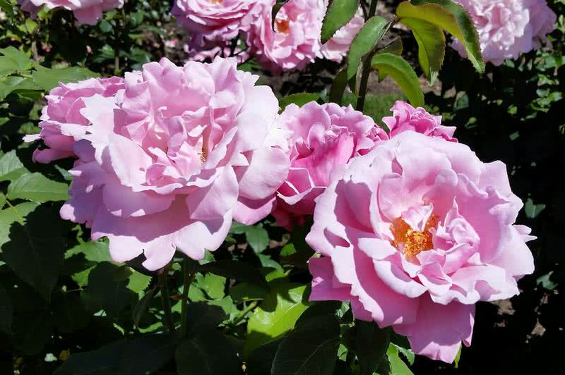 10 Intensely Fragrant Roses To Plant In Your Garden The