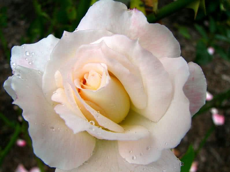 Fragrant Secret Rose