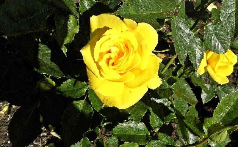 pleasnt smelling sunsprite rose