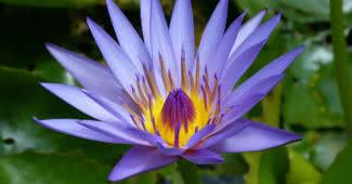 most beautiful aquatic flowers