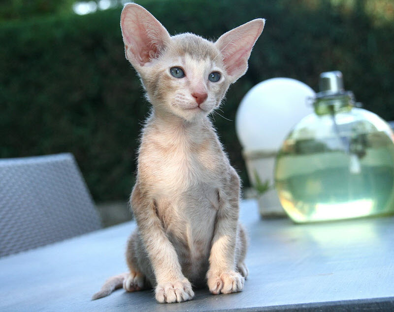 Top 10 Smallest Cat Breeds In The World - The Mysterious World