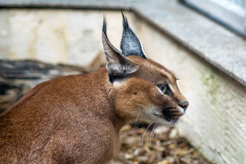 Little Known Wild Cats